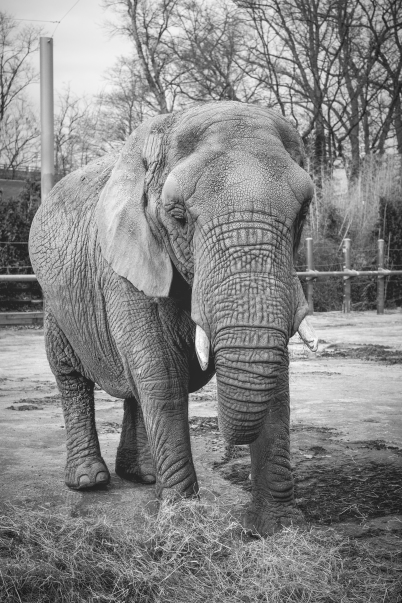 elephant_01282017_1