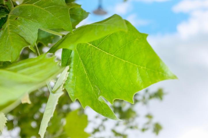 green_leaf_06042019
