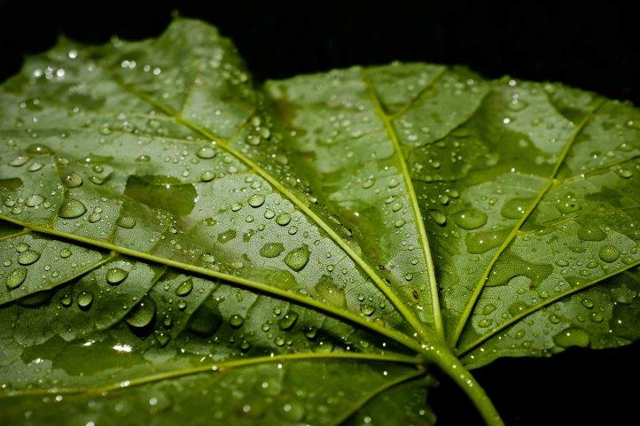 wet_leaf_06072019