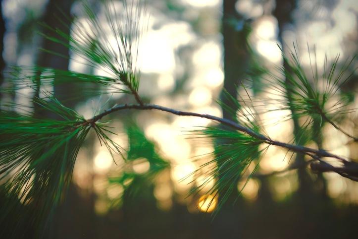 Pine_Bokeh_022320
