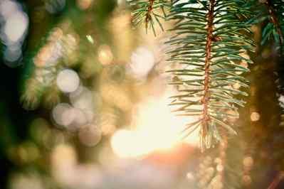 Pine_081120